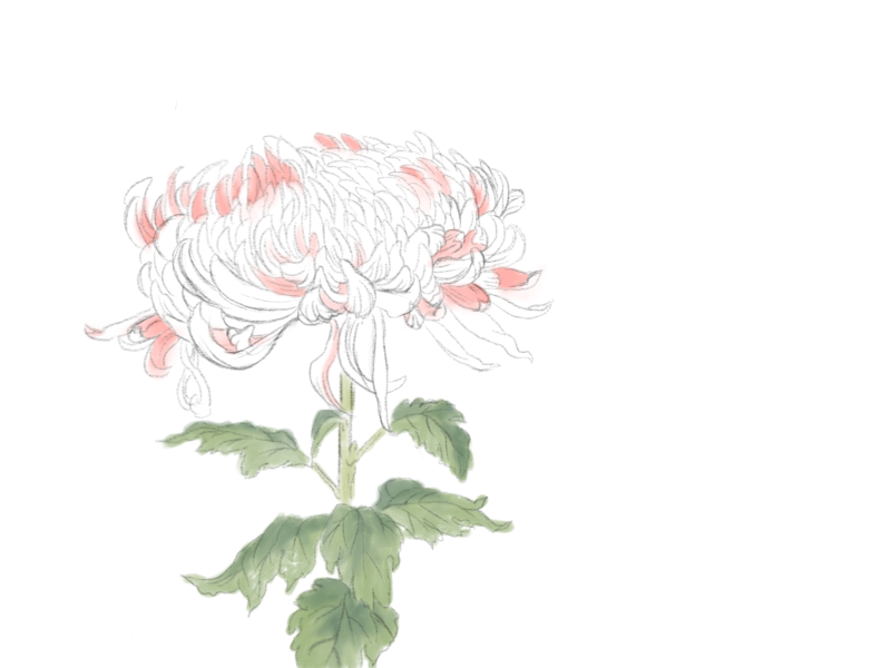 菊 / chrysanthemum